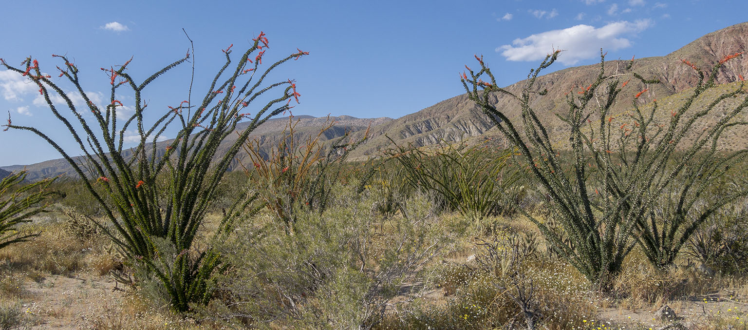 ...and some more ocotillos.