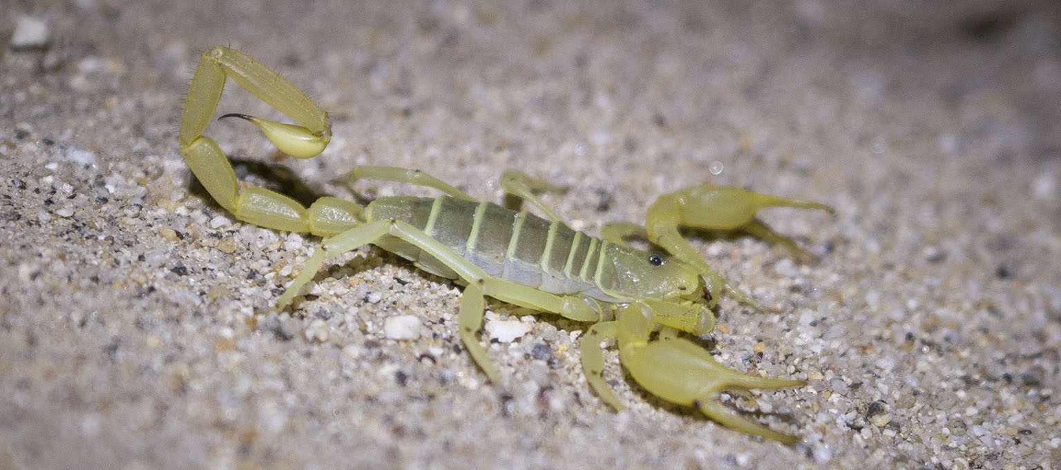 Nighttime visitor: the Anza-Borrego hairy scorpion (Hadrurus anzaborrego)