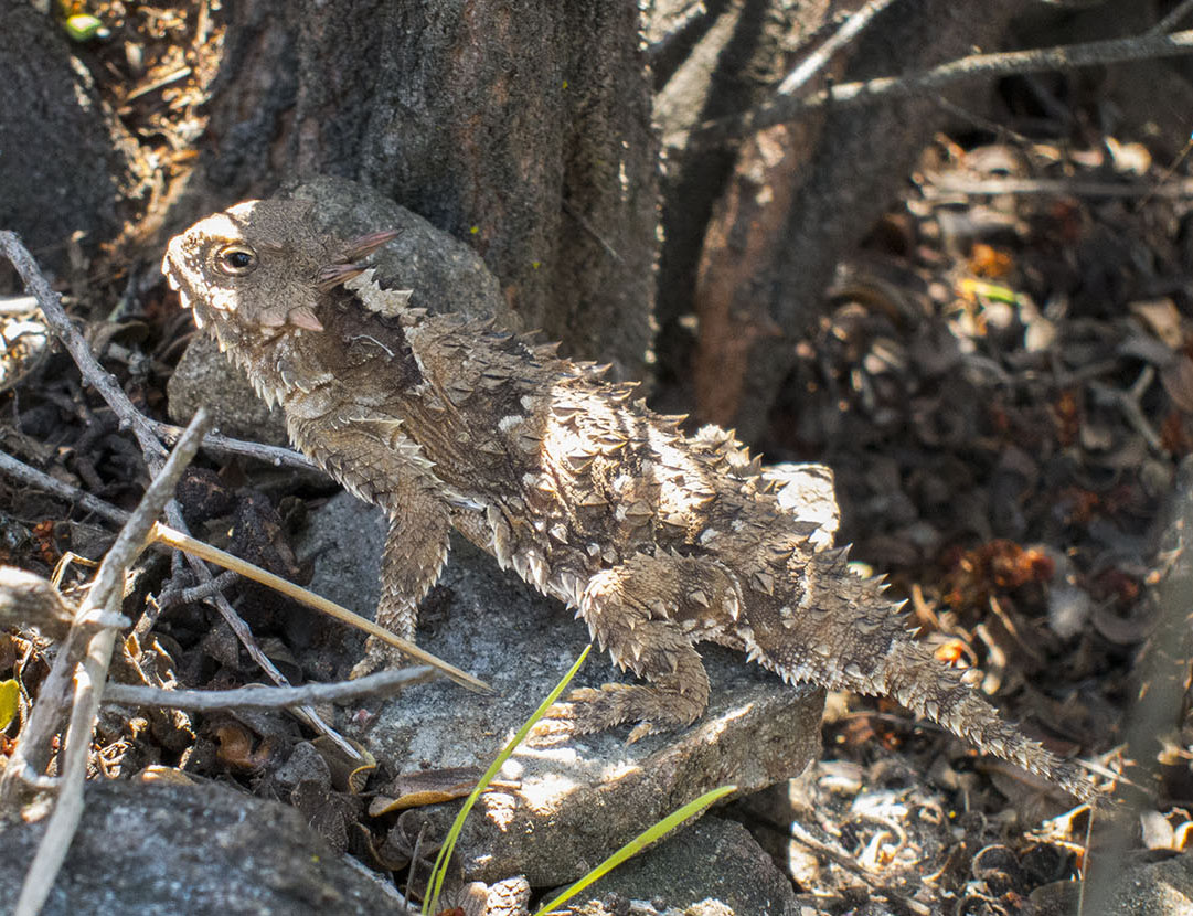 The elusive horned lizard (genus Phrynosoma)