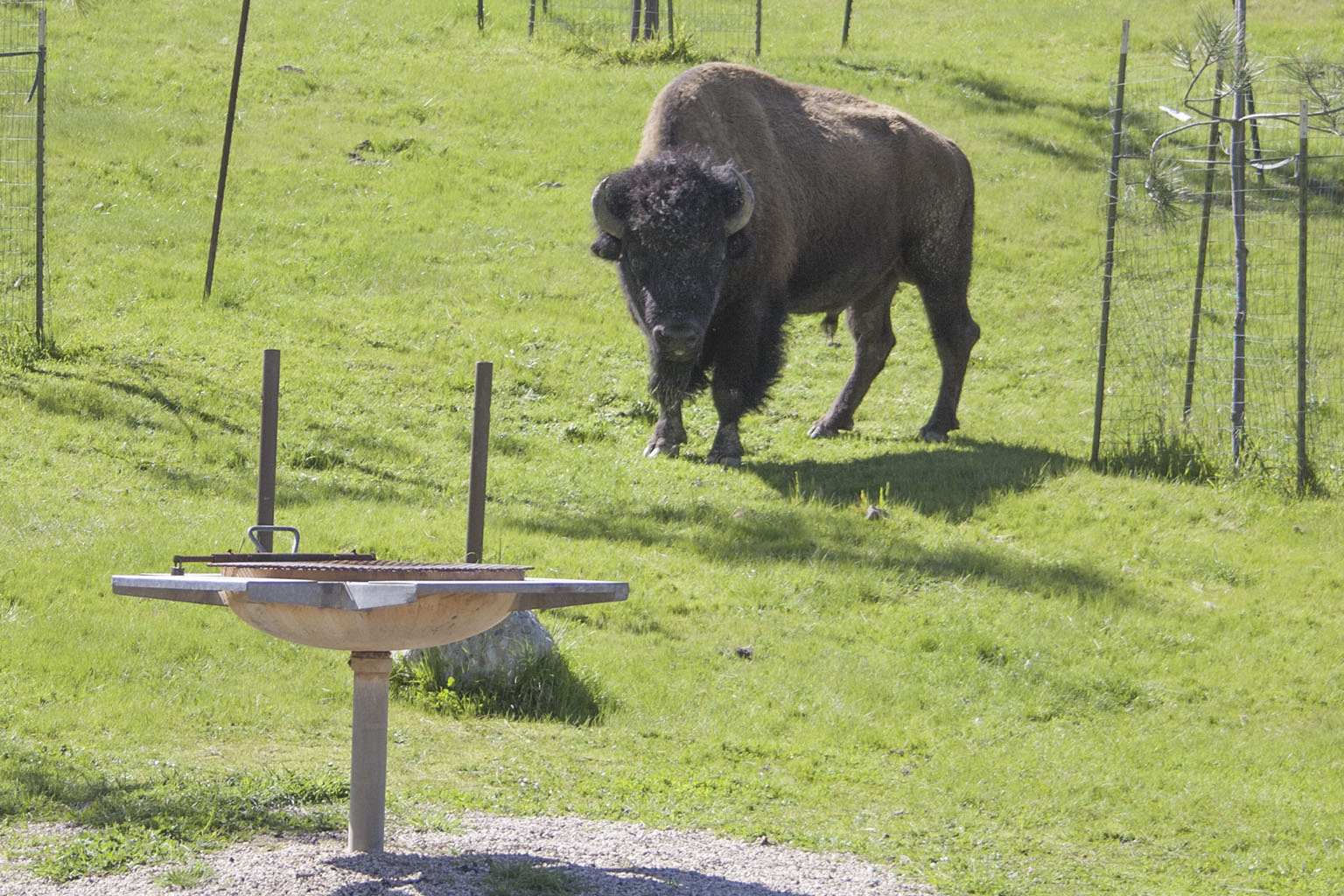 Bison bull at the Haypress Recreation Area