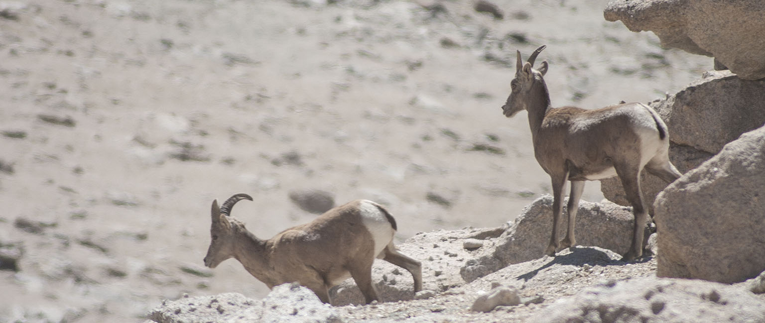Sierra Bighorn Sheep - these guys were trying to catch up with the bigger group
